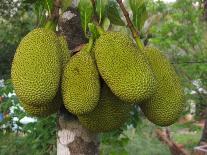 jackfruit growing tree big fruit healthy