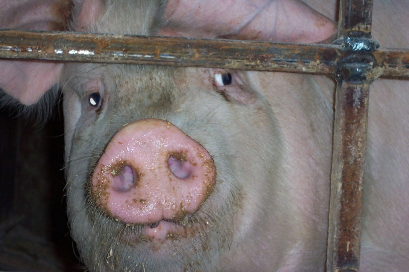pig factory farming sad caged