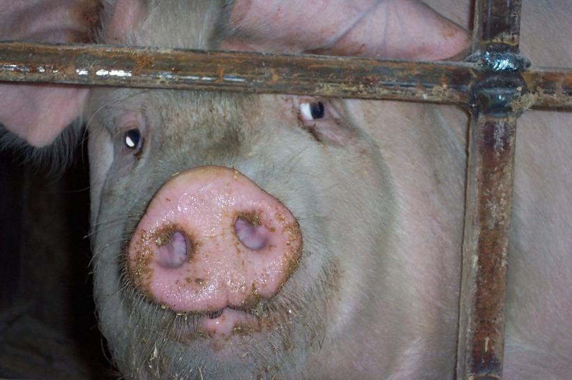 pig factory farming sad caged