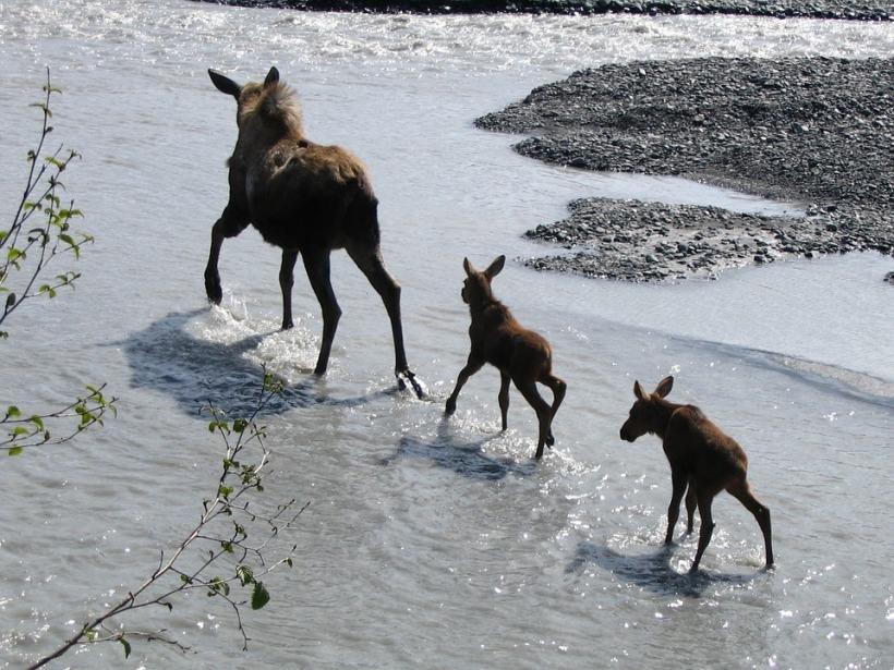 moose-902535_960_720