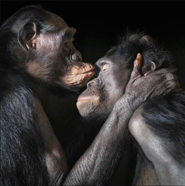 love kiss chimps relationship emotion Tim Flach