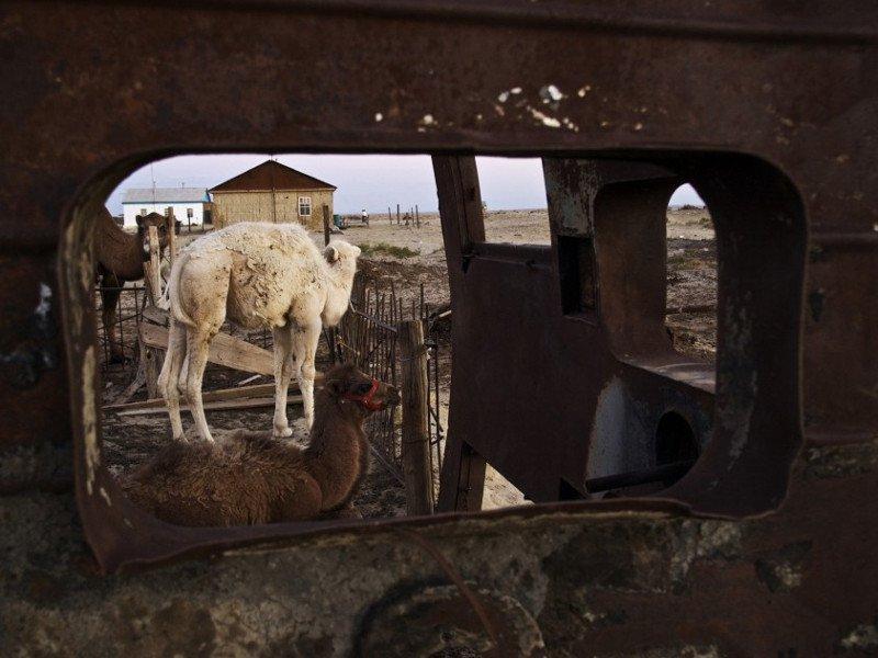 abandoned-camels