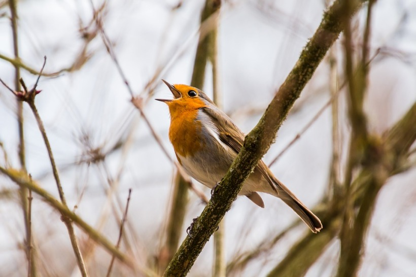 robin singing song beak bird wildlife twig tree dawn chorus