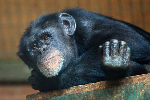 chimp chimpanzee thinking sad captivity