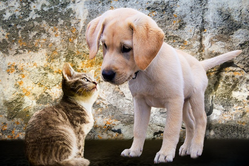 Puppy labrador kitten nose to nose cute sweet pets