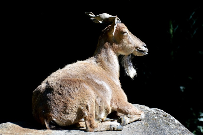 markhor goat tadjikistan pamir mountains trophy hunting wildlife