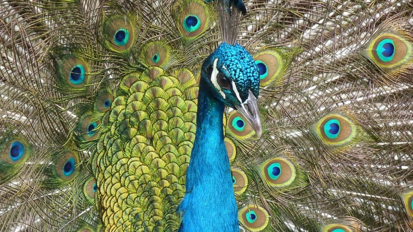 peacock enchantment colours brilliance feathers tail bird
