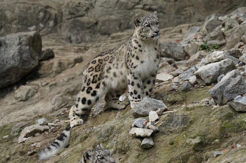 snow-leopard-931224_960_720