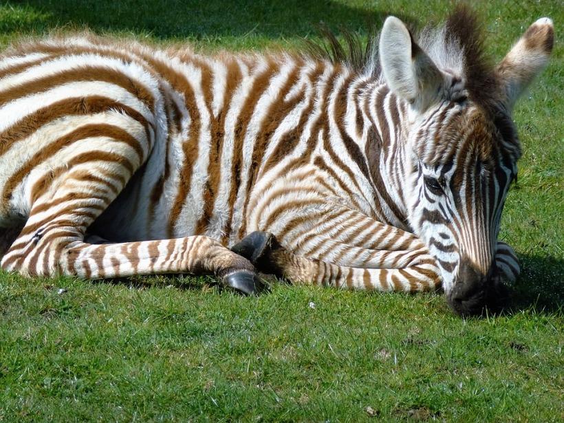 zebra-1676075_960_720.jpg