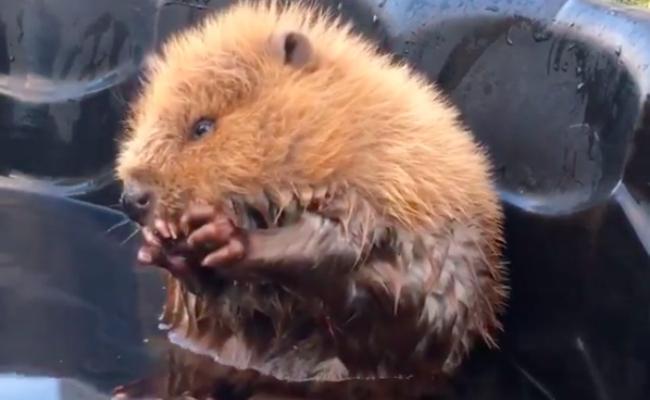 baby beaver Alberta Institute for Wildlife Conservation canada rescue