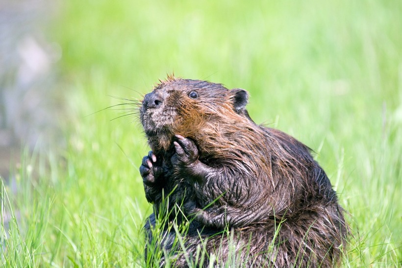 beaver wet sitting river bank