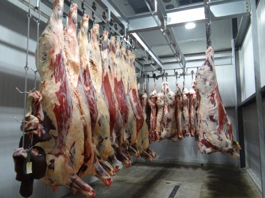 hanging carcasses beef cattle dead