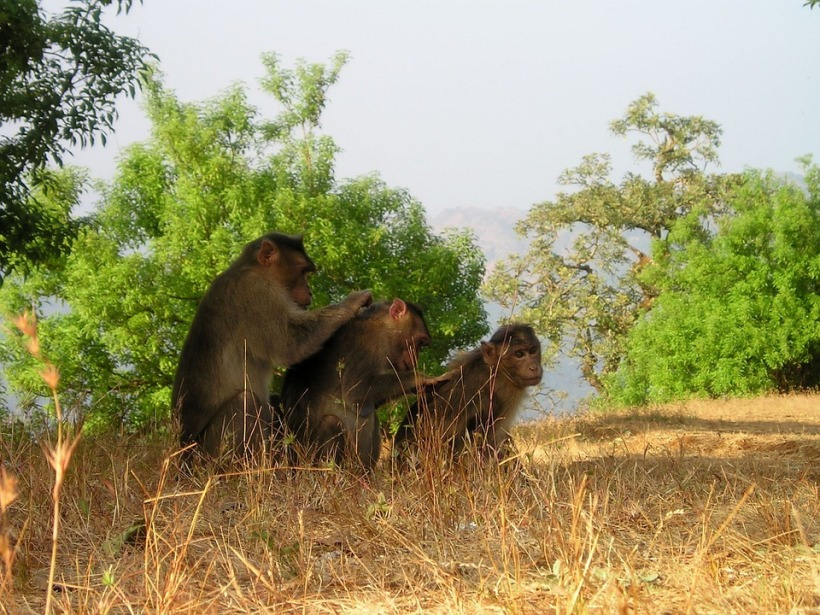 berber monkeys mutual grooming