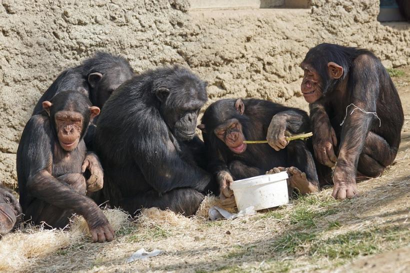 chimps-1273602_960_720