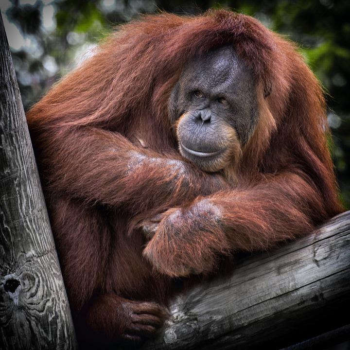 orangutan great ape primate fur clever
