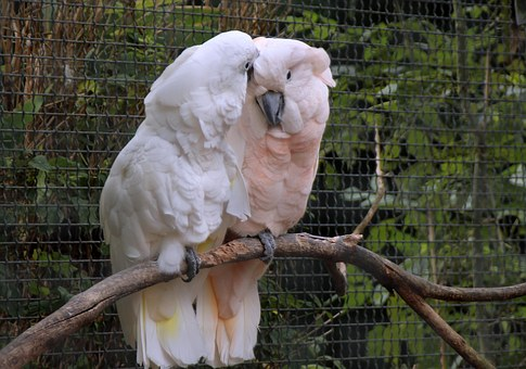 cockatoo-1129586__340
