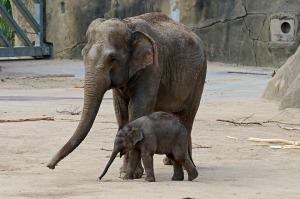 mother elephant baby cute zoo