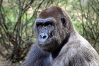 gorilla great ape primate zoo