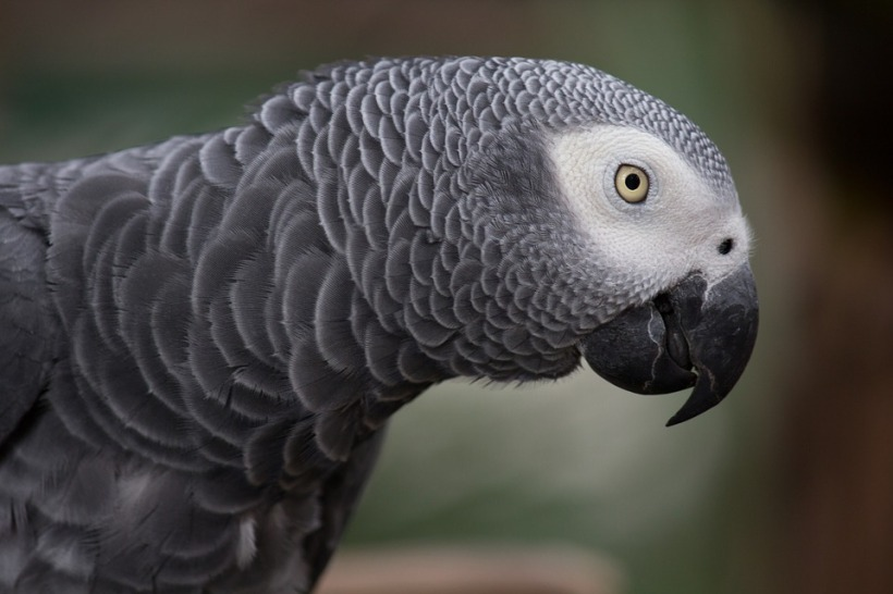 African grey parrot Bud talking mimic bird feathers clever