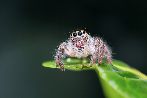 jumping-spider-1130449__340