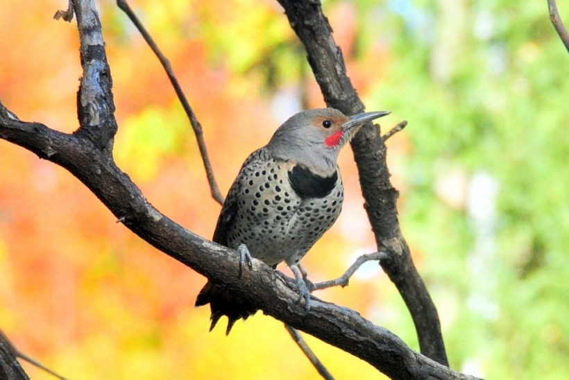 northern-flicker-938573_960_720