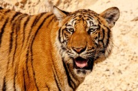 tiger zoo big cat stripes mammal