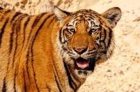 tiger zoo big cat stripes mammal