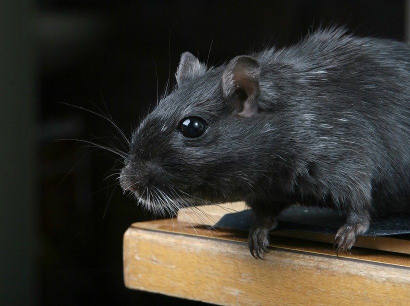 black rat rattus rattus invasive species predator rodent