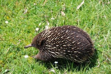 australia porcupine wildlife