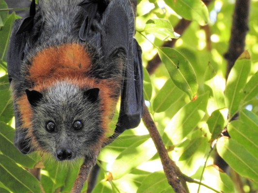 bat hanging tree australia mammal wildlife