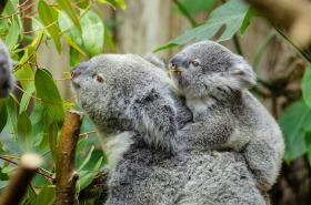 koala baby mother furry australia mammal wildlife endangered