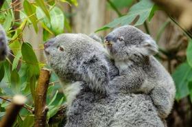 koala baby mother furry australia mammal wildlife endangered