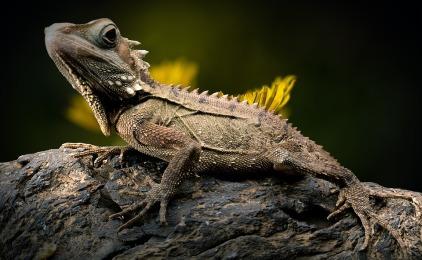 wildlife lizard reptile
