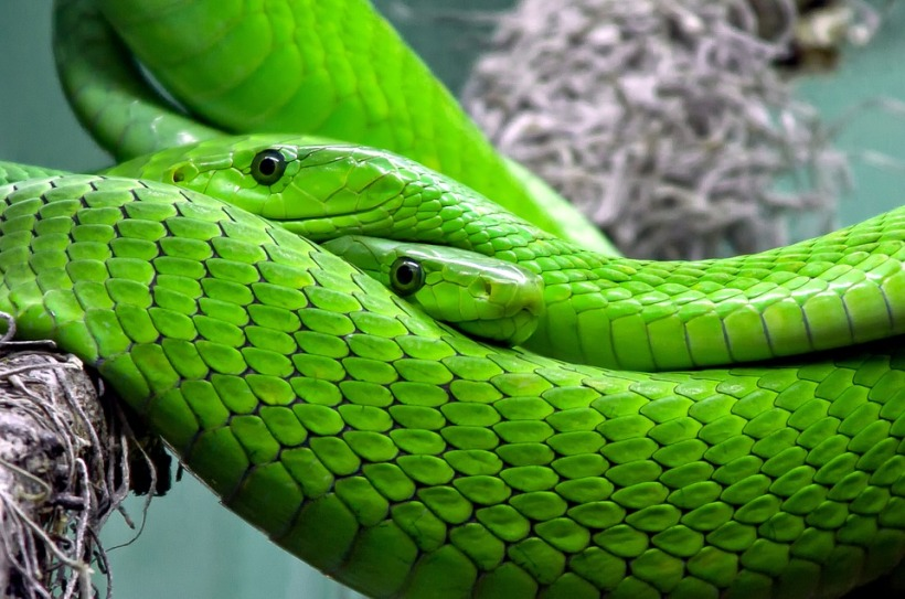 green mamba snake venom poisonous scales reptile wildlife