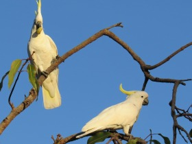 sulfur crested cockatoos birds wildlife australia