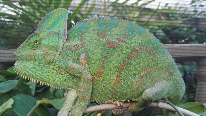 veiled-chameleon-2150271_960_720