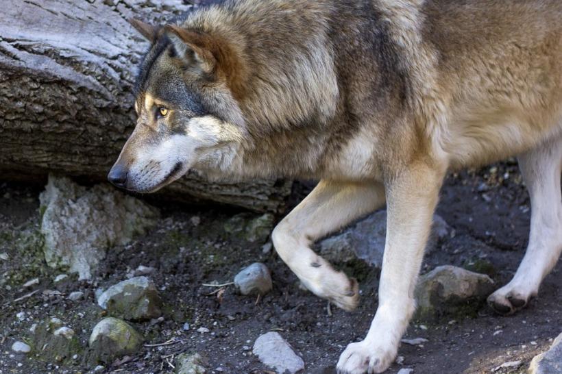 wolf-1384412_960_720