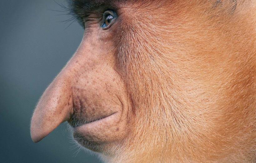 Proboscis Monkey Tim Flach