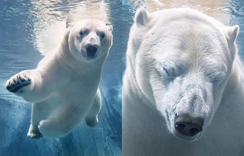 Polar Bears Underwater Tim Flach