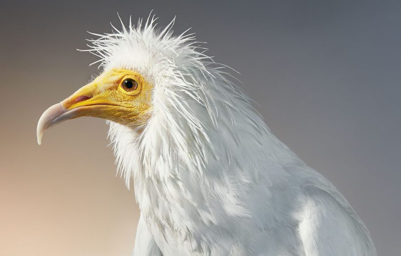 Egyptian Vulture Tim Flach