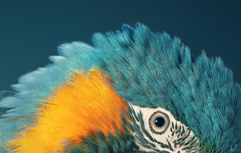 blue-throated macaw Tim Flach