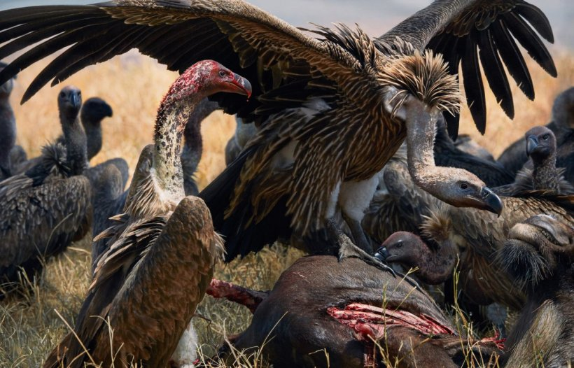 whiteback vultures Tim Flach