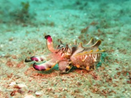 flamboyant cuttleship endangered species palawan philippines island ocean