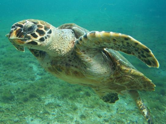 HAWKSBILL-SEA-TURTLE Philippines