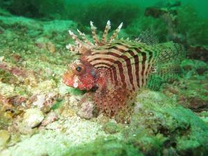 lionfish palawan philippines island ocean