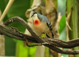 Mindoro-Bleeding-heart bird endangered species philippines