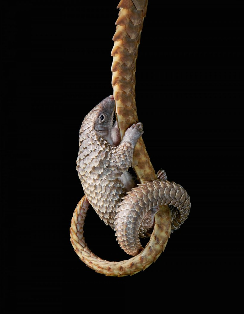 White-Bellied Pangolin Baby Tim Flach