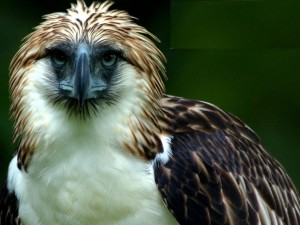 Philippine Sea Eagle feathers bird beak stare endangered species