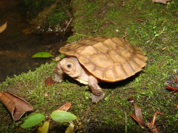 philippine palawan forest turtle endangered species animal