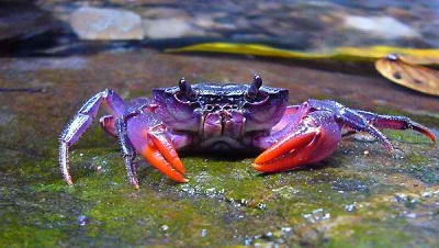 palawan island purple crab highly endangered arthropod